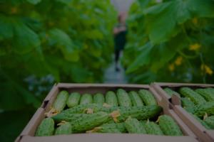 Una caja de pepinos abierta frente a una mujer recogiendo vegetales en un invernadero